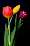 Yellow, Orange, and Crimson Tulips Stock Photo
