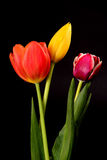 Yellow, Orange, and Crimson Tulips Stock Images