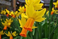 Yellow orange Daffodil Royalty Free Stock Photo