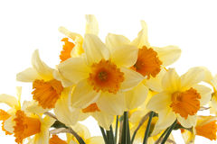 Yellow with orange daffodil flowers Stock Images