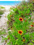 Yellow and Orange Daisies Growing Wild in the Dune Along the Coast of Ormond in Florida stock image
