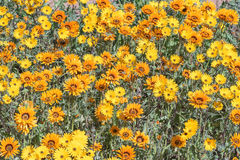 Yellow and orange daisies Royalty Free Stock Image