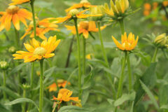 Yellow orange daisy flowers in garden Royalty Free Stock Photos