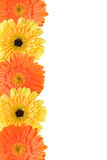 Yellow and orange daisy frame Royalty Free Stock Photo