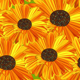 Yellow and Orange Daisy. Royalty Free Stock Images