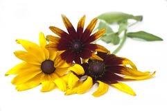 Yellow and orange Echinacea daisy Royalty Free Stock Images