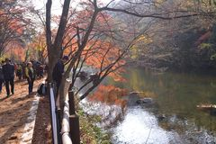 Yellow orange Maple leaf at Naejangsan Korea. Yellow orange fade color maple leaf at Naejangsan Korea landscape stock photo