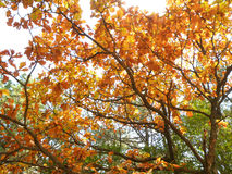 Yellow and orange fall foliage in the afternoon sunlight Royalty Free Stock Photography
