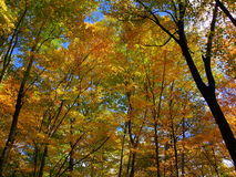 Yellow and orange fall tree canopy looking upward Royalty Free Stock Photography