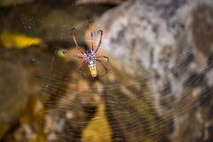 Yellow and orange female Golden orb-web spider Nephila spp. sitting on a web, Madagascar