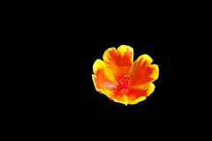 Yellow and orange flower Royalty Free Stock Images
