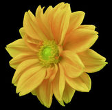 Yellow-orange flower dahlia, black  background with clipping path. Closeup. no shadows. yellow-green center. side view. Royalty Free Stock Photos