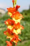 Yellow-orange flower of a gladiolus Stock Image