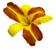 Yellow-orange  flower  lily on white isolated background with clipping path  no shadows. Closeup. Royalty Free Stock Photography