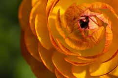 Yellow and Orange Flower Macro Photograph Stock Photos