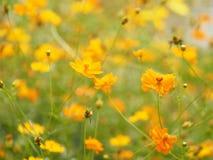 Yellow orange Flower Mexican Aster Klondyke Type Bright Light Sulphureus beautiful in nature. Closeup Yellow orange Flower Mexican Aster Klondyke Type Bright stock images