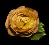 Yellow-orange  flower  roses  on the black isolated background with clipping path  no shadows.  Rose with green leaves.  For desig. N.   Closeup.  Nature Stock Images