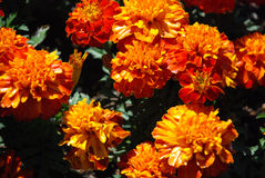 Yellow orange flowers. A field of bright yellow and orange flowers Stock Photography