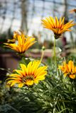 Yellow and orange flowers in the botanical garden. Indoor Royalty Free Stock Photo