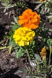 Yellow and orange flowers with green grass Stock Images