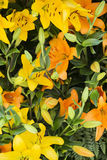 Yellow and orange flowers. On green leaves Royalty Free Stock Images
