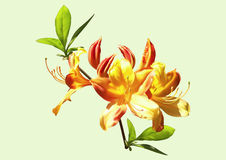 The yellow-orange flowers of rhododendron. Sprig of rhododendron with yellow-orange flowers and leaves Royalty Free Stock Photo