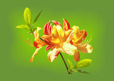 The yellow-orange flowers of rhododendron. On a green background Royalty Free Stock Image