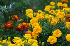Yellow and orange flowers tagetes in the flowering period on the flowerbed. The flower garden in August. Yellow and orange flowers tagetes in the flowering Royalty Free Stock Photography