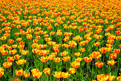 Yellow orange flowers of tulips blossomed in the spring Stock Image