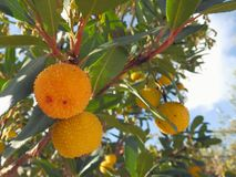 Yellow and orange fruits of strawberry tree. Closeup of orange and yellow fruits of Arbutus unedo. Arbutus unedo commonly known as the strawberry tree is an royalty free stock photo