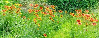 Yellow-orange Gaillardia aristata flowers, green field Royalty Free Stock Photos