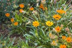 Yellow and orange garden flowers Stock Image