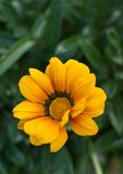 Yellow and Orange Gazania  Stock Image