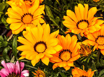 Yellow and orange gazania flowers Stock Photo