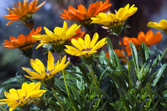 Yellow Orange Gazanias Meadow stock photo