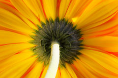 Yellow orange gerber Royalty Free Stock Photo