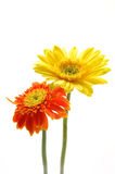 Yellow and orange gerber daisies. In isolated white Stock Images