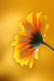 Yellow orange gerber flower. Photographed with light brush Royalty Free Stock Image