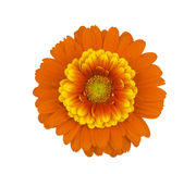 Yellow Orange Gerbera. Detail of an orange gerbera flower with a yellow mini gerbera, isolated on white Stock Photography