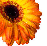 Yellow and orange gerbera Royalty Free Stock Photography