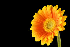 Yellow Orange Gerbera Black Background Stock Photography