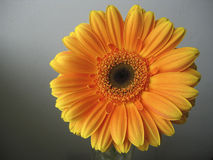 Yellow - Orange Gerbera Flower Close up. Yellow / orange Gerbera flower close up on a grey background Stock Photography