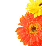 Yellow and Orange Gerbera Flowers Royalty Free Stock Images