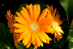 Yellow-orange gerbera. / Gerbera is a genus of ornamental plants from the sunflower family(Asteraceae Royalty Free Stock Photos