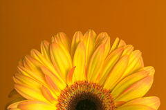 Yellow-orange gerbera on orange background. Half of yellow-orange gerbera on orange background royalty free stock images