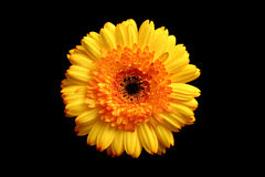 Yellow orange gerbera over black Royalty Free Stock Photo