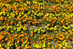 Yellow, orange and gold marigold flowers on flowerbed in summer Stock Photo