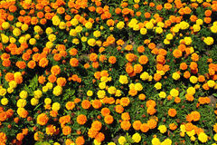 Yellow, orange and gold marigold flowers on flowerbed in summer Royalty Free Stock Images