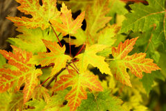 Yellow, orange and green autumn maple leaves Stock Image