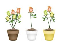 Yellow, Orange and Green Roses in Ceramic Flower Pots Royalty Free Stock Photography